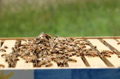 Honey Bees--Spring 2011
